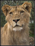 Title: Young Lion