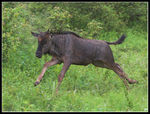 Title: Young Wildebeest