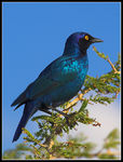 Title: Glossy Starling