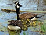 Title: Canadian Geese