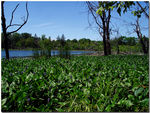 Title: Fields of Pickerel Weeds on Schreiber Lk