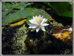 Title: White Waterlily