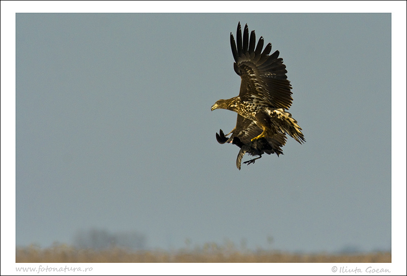 White Tailed Eagle with its prey