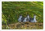 Title: Coot cubs