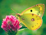 Title: Colias hyale