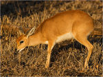 Title: Red Duiker
