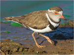 Title: Three banded plover