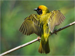 Title: Southern Masked Weaver