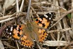 Title: Painted Lady (Vanessa cardui)Sony Alpha 350 DSLR
