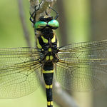 Title: Giant dragonfly (Anotogaster sieboldii)