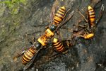 Title: group of hornets