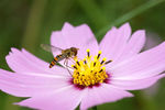 Title: Hoverfly and cosmos