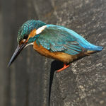 Title: Kingfisher on concrete riverside
