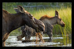 Title: Moose Mother and Calf