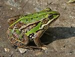 Title: Green Frog