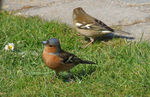 Title: Mr and Mrs Chaffinch