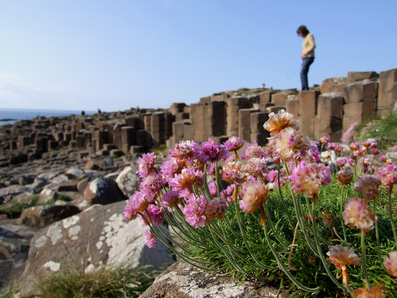 Flowers of Giant's Causeway