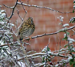 Title: Song -Thrush in the snow