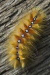 Title: Sycamore moth caterpillarNikon D200