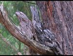 Title: Marbled Frogmouth Camera: Canon Powershot G5