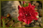 Title: @Macro on Dianthus Red@