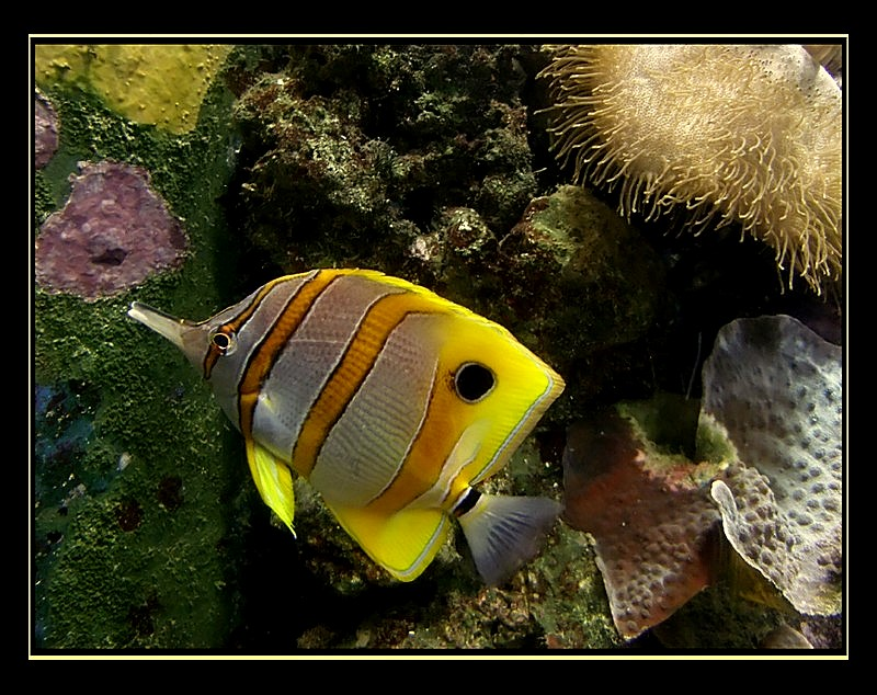 ~Copperband Butterfly fish~