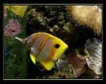 Title: ~Copperband Butterfly fish~