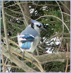 Title: bluejay-watching the cat