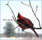 Title: cardinal on lilac