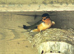 Title: barn swallow nest reconstruction