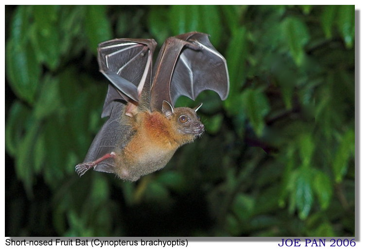 Short-nosed Fruit Bat