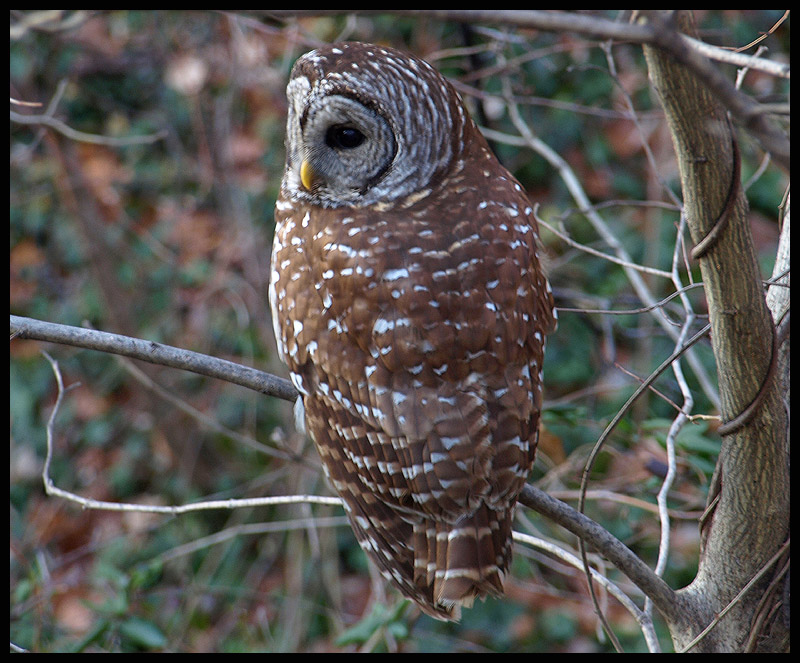 Barred Owl at my office window!