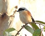 Title: Bay-backed Shrike