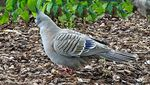 Title: Crested Pigeon