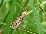 Title: Crimson Speckled Moth