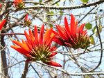 Title: Flowers of Indian Coral Tree