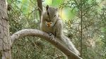 Title: Northern Palm Squirrel-1
