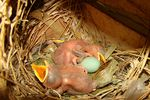 Title: Common Myna Hatchlings
