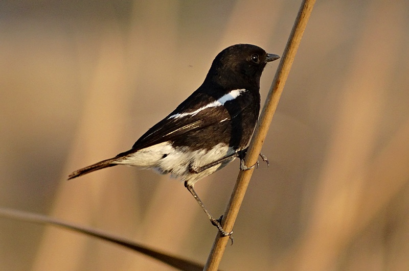 The Pied Bush Chat (Male)