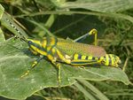 Title: Painted Grasshopper