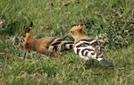 Title: A Pair of Hoopoe