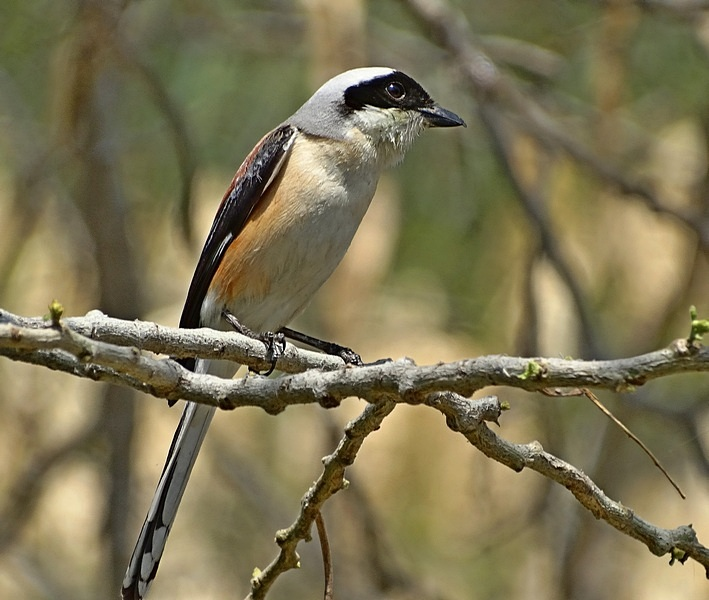 Long-tailed shrike. (Lanius schach)
