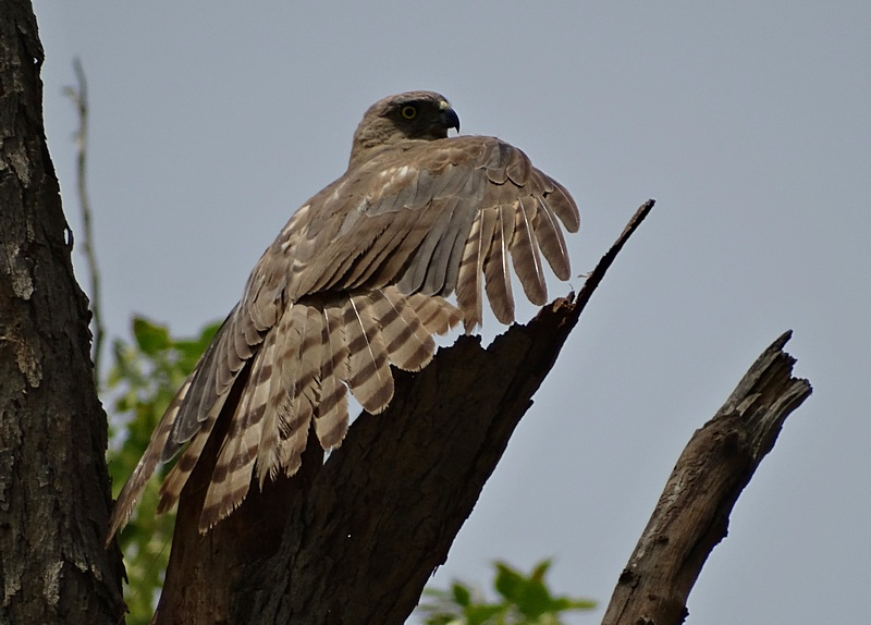 The shikra (Accipiter badius)