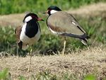 Title: A Pair of Red-wattled Lapwing