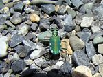 Title: Six-spotted Tiger Beetle