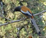 Title: The rufous treepie