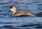 Title: Red-crested Pochard
