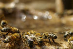 Title: Drinking bees in Kalivianis