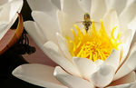 Title: Fly and water lilly