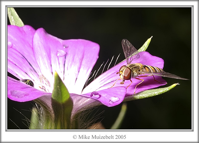 Hoverfly resting (macro)